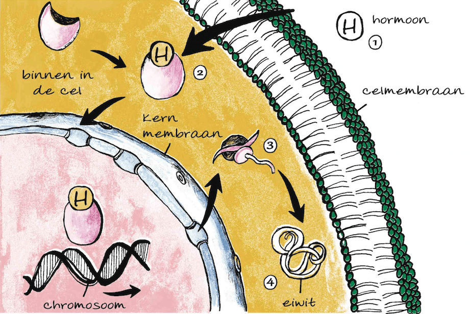 hormoonstelsel